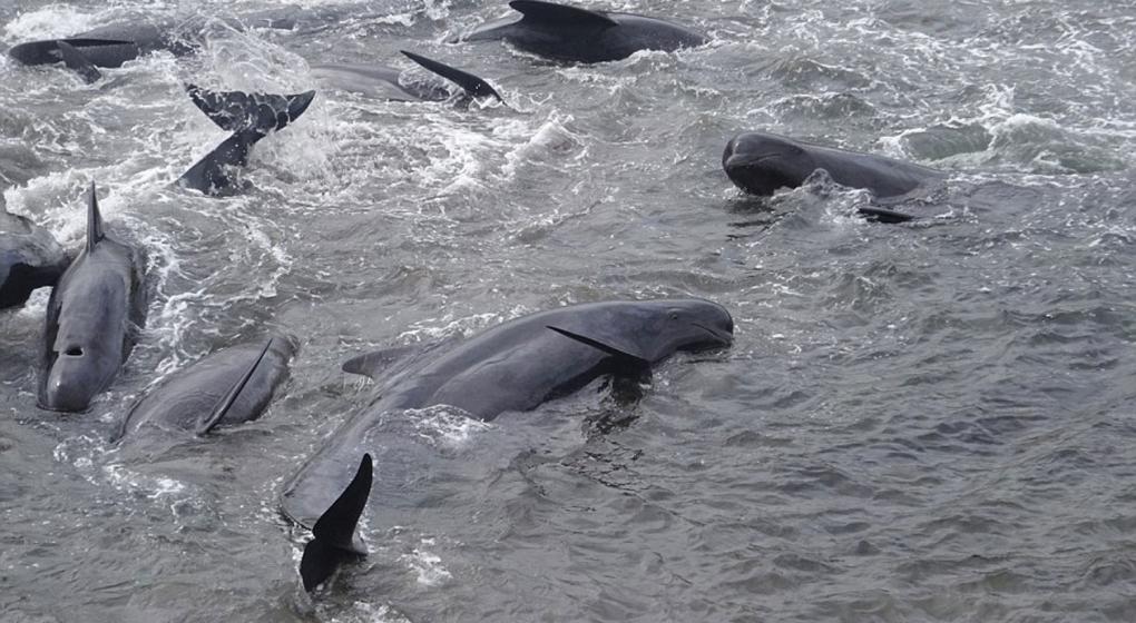 Macabro ritual en Dinamarca: mataron a 180 ballenas en las Islas Feroe