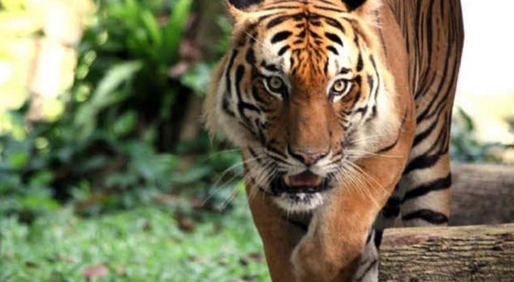 China permitirá el uso de productos derivados de tigre y rinoceronte