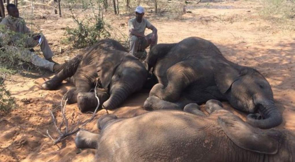 Encontraron 90 cadáveres de elefantes y denuncian un aumento de la caza ilegal