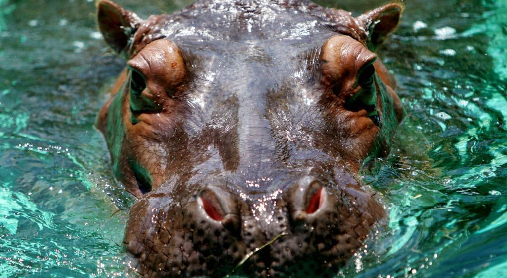 Dos personas mueren al ser atacadas por hipopótamos en Kenia