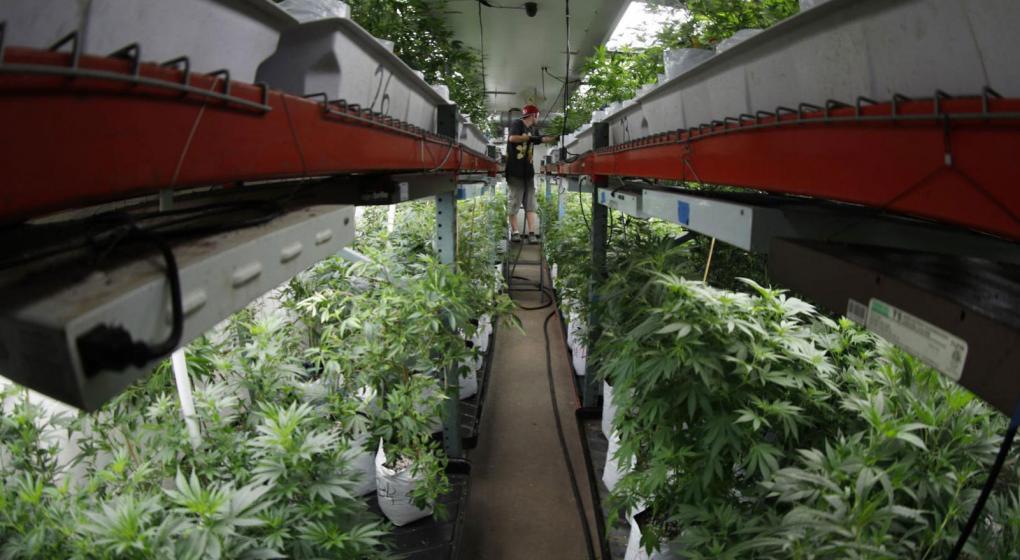 Tras la legalización, se duplicó el cultivo de marihuana ilegal en Colorado