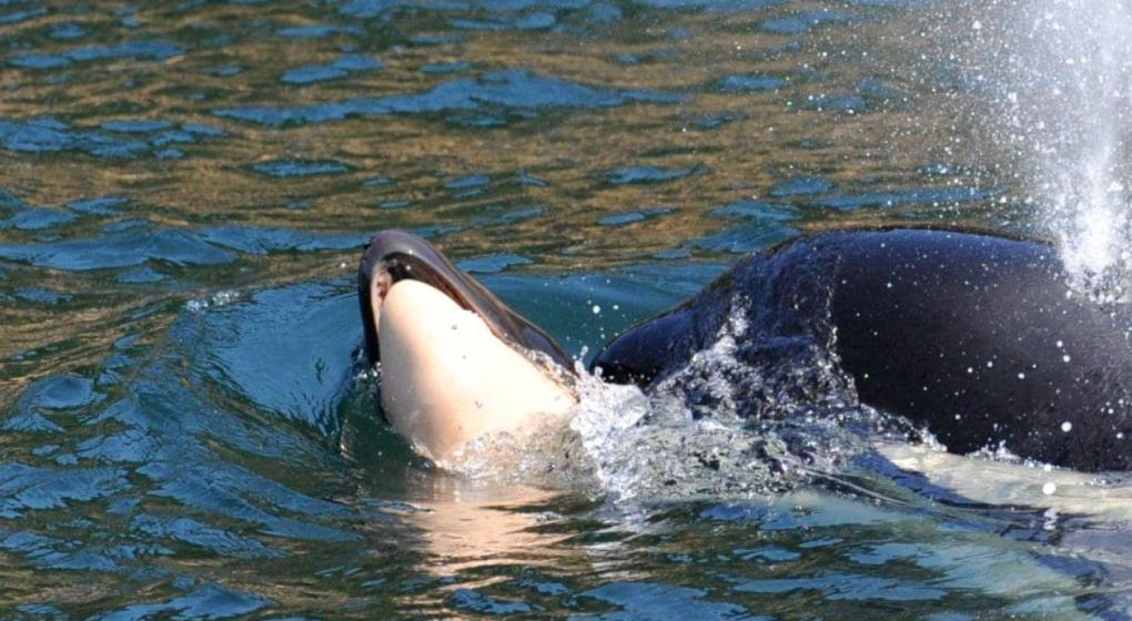 Conmovedor: orca madre y un duelo de 17 días con su cría muerta