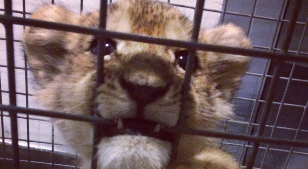 Encuentran un cachorro de león en los Campos Elíseos de París