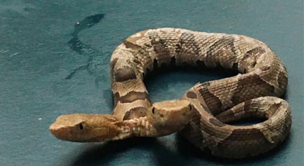 Hallaron una serpiente de dos cabezas: tiene dos tráqueas y un solo corazón
