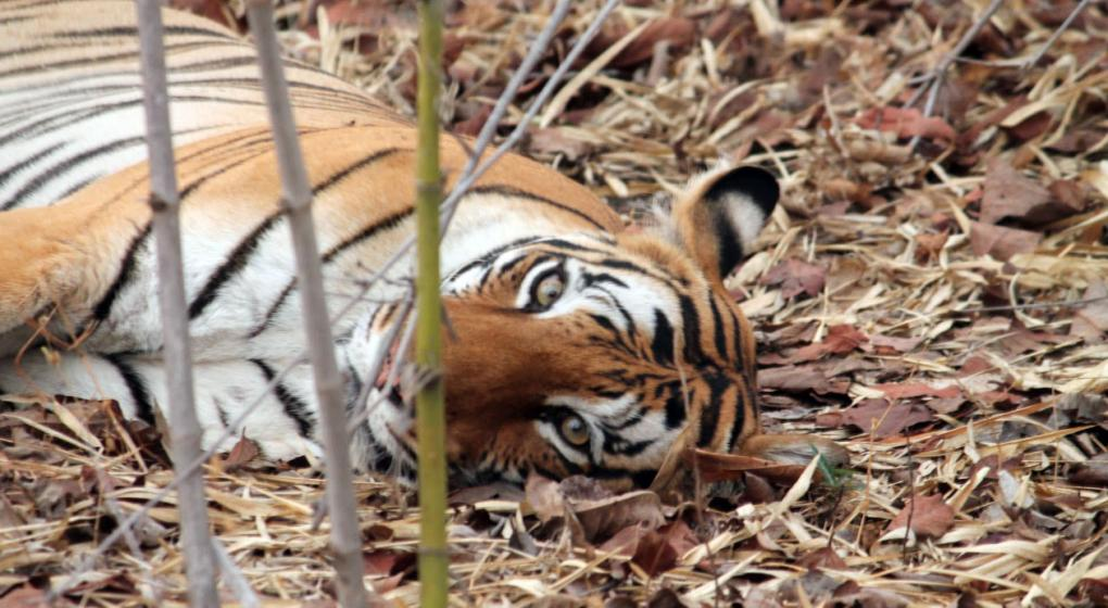 Polémica: la Justicia de la India acepta eliminar a una tigresa que mató a seis personas