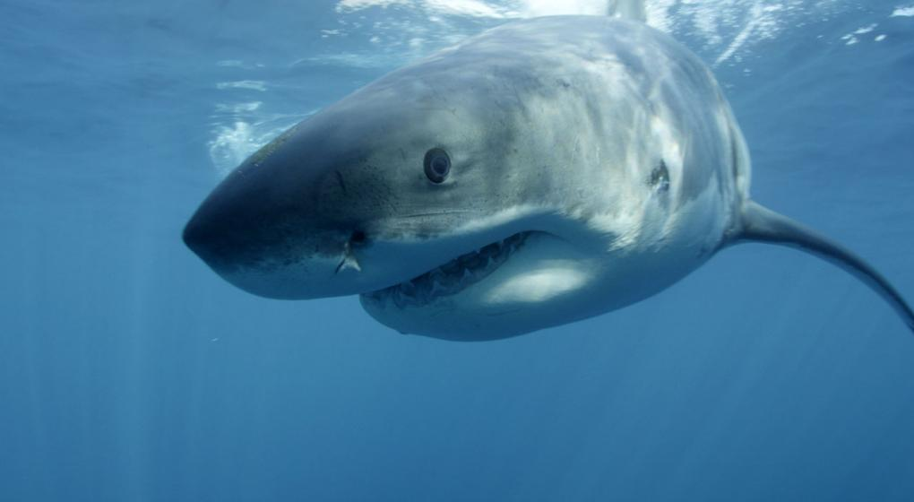 Robó un tiburón de un acuario, confesó el hecho y la Policía recuperó al pez