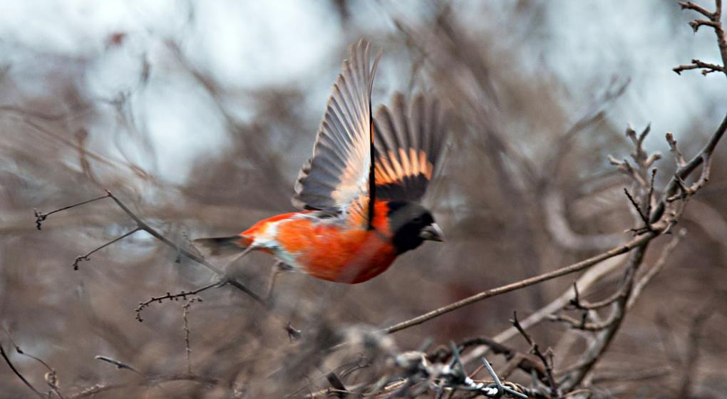 Esfuerzos titánicos para salvar ave diminuta en Venezuela